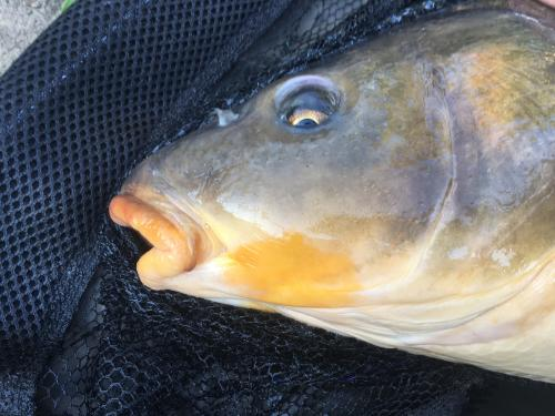 Cag_big_four_fall_2017_close-up_of_carp_face.JPG
