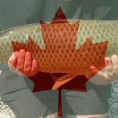 Canadian Carper