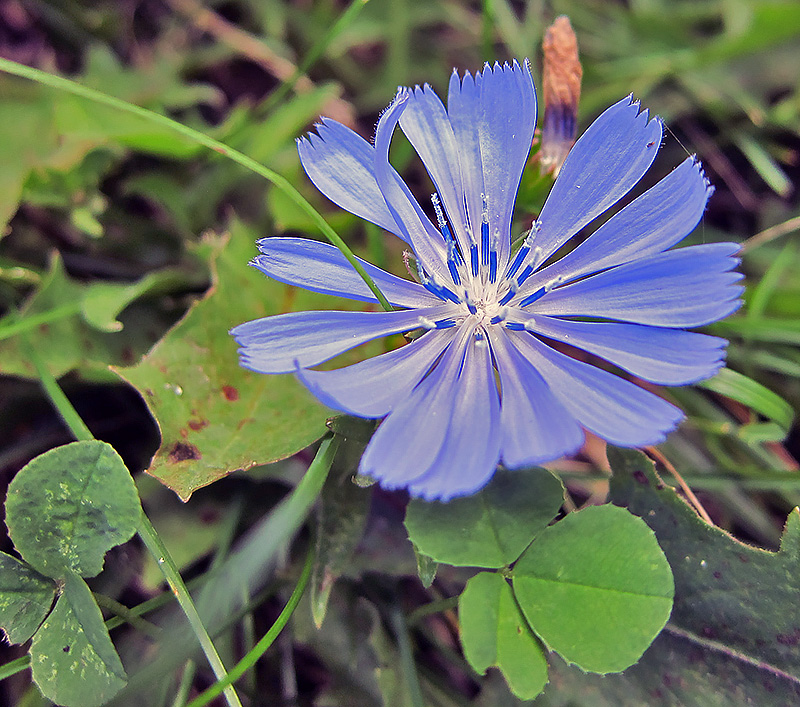belmont blue flower 100115