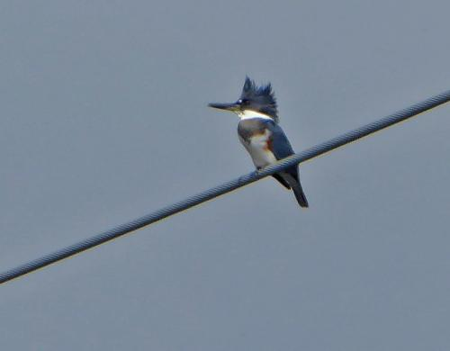 kingfisher_082816.jpg